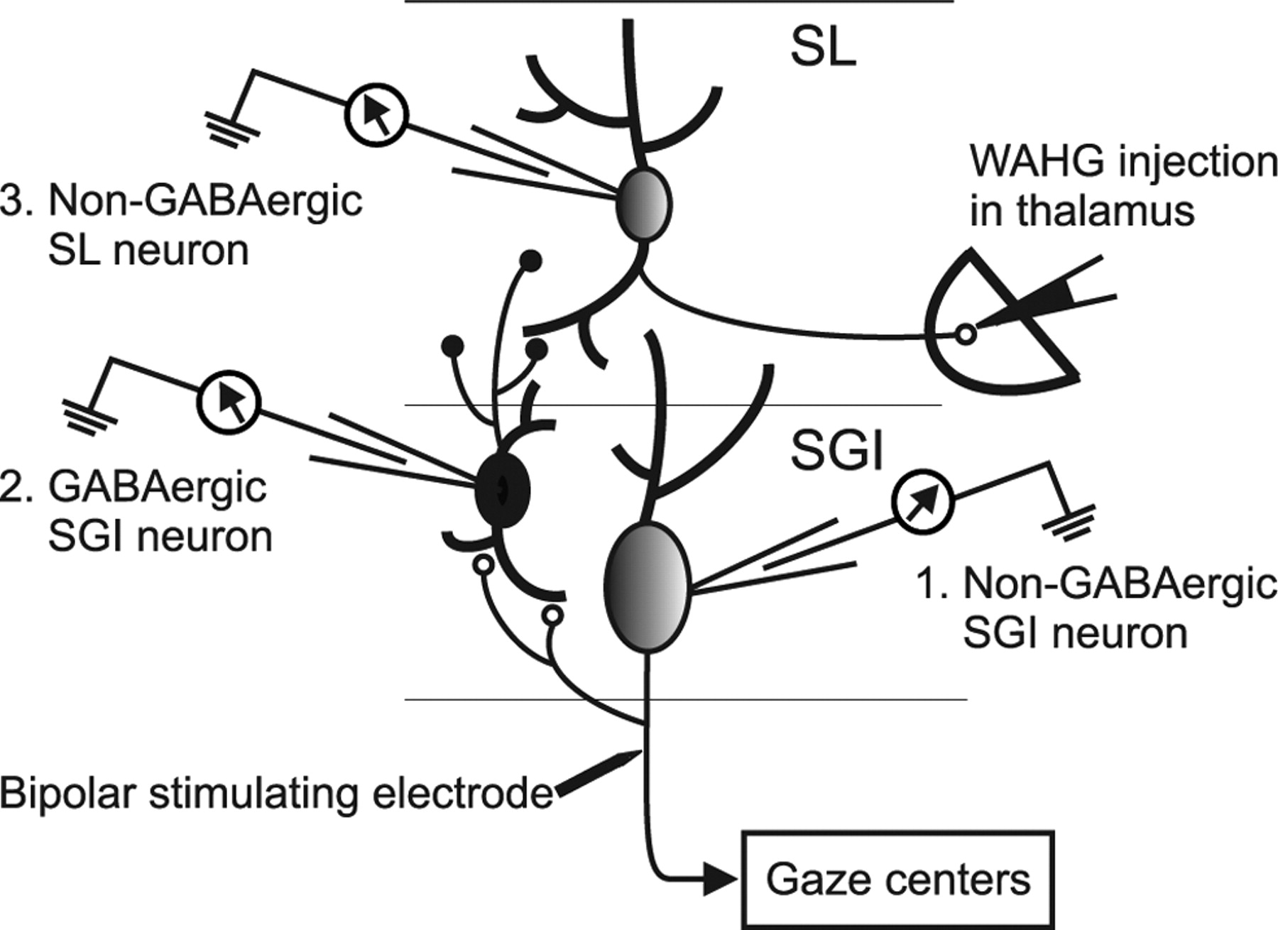 A Circuit Model For Saccadic Suppression In The Superior Colliculus Anatomy Of Short Open Electrical Download Figure New Tab