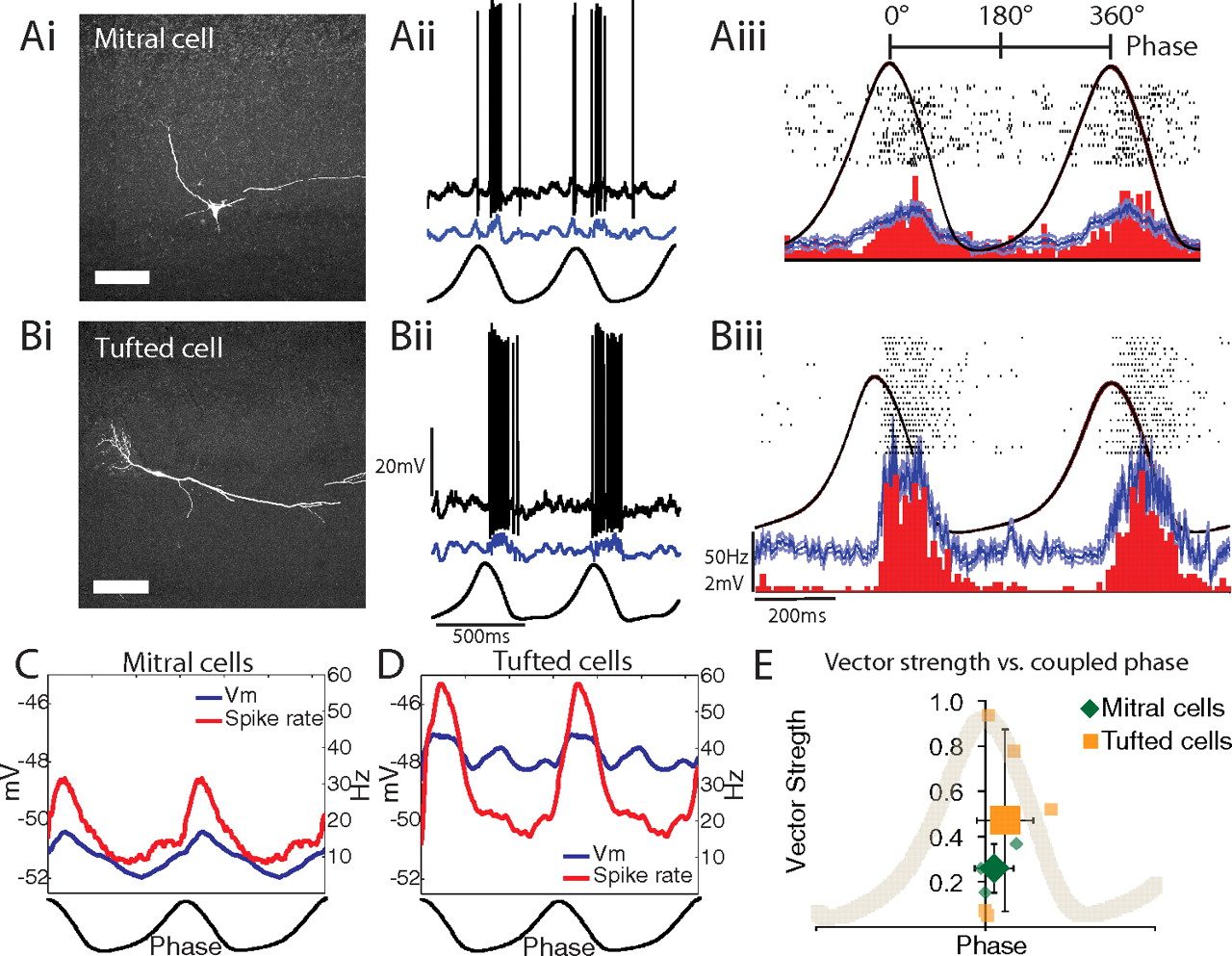 Respiration Drives Network Activity And Modulates Synaptic Bulbs In A Series Circuit Download Figure