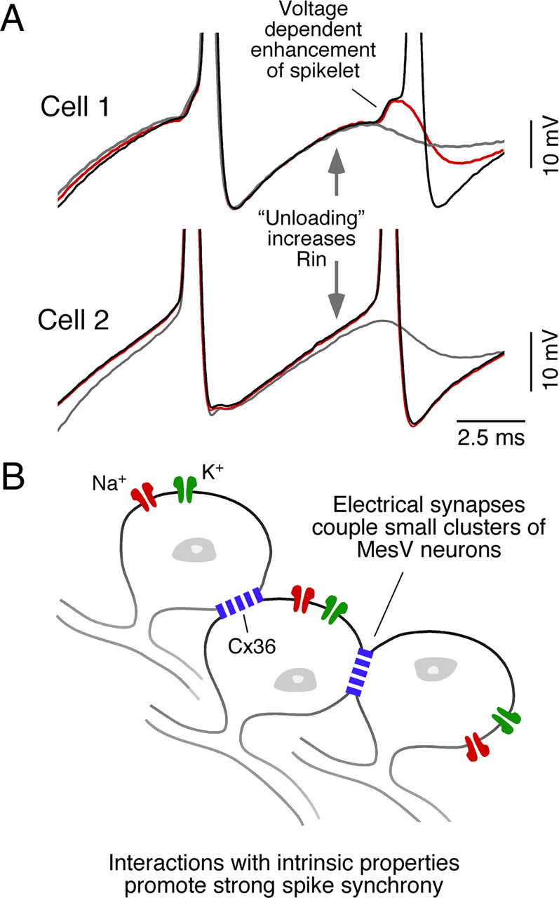 Electrical synapses and their features