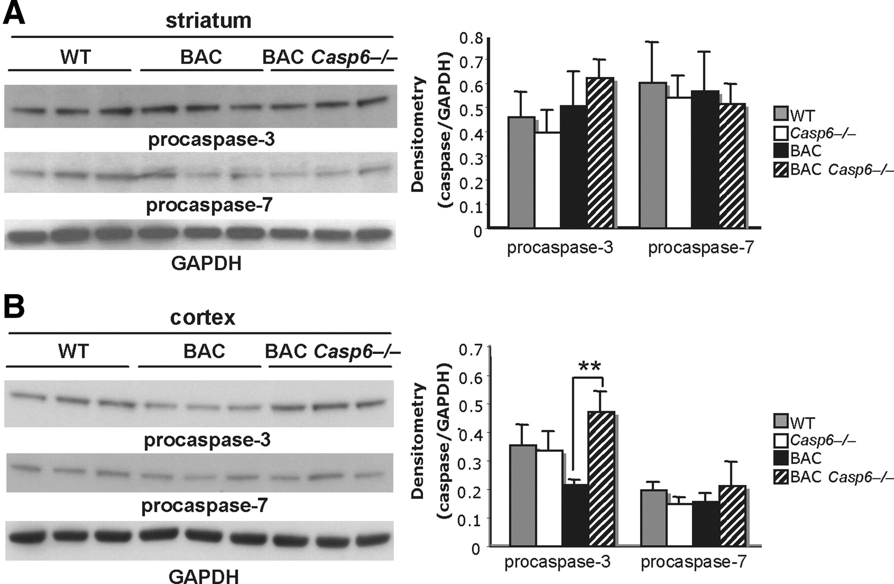 Caspase-6 Activity in a BACHD Mouse Modulates Steady-State
