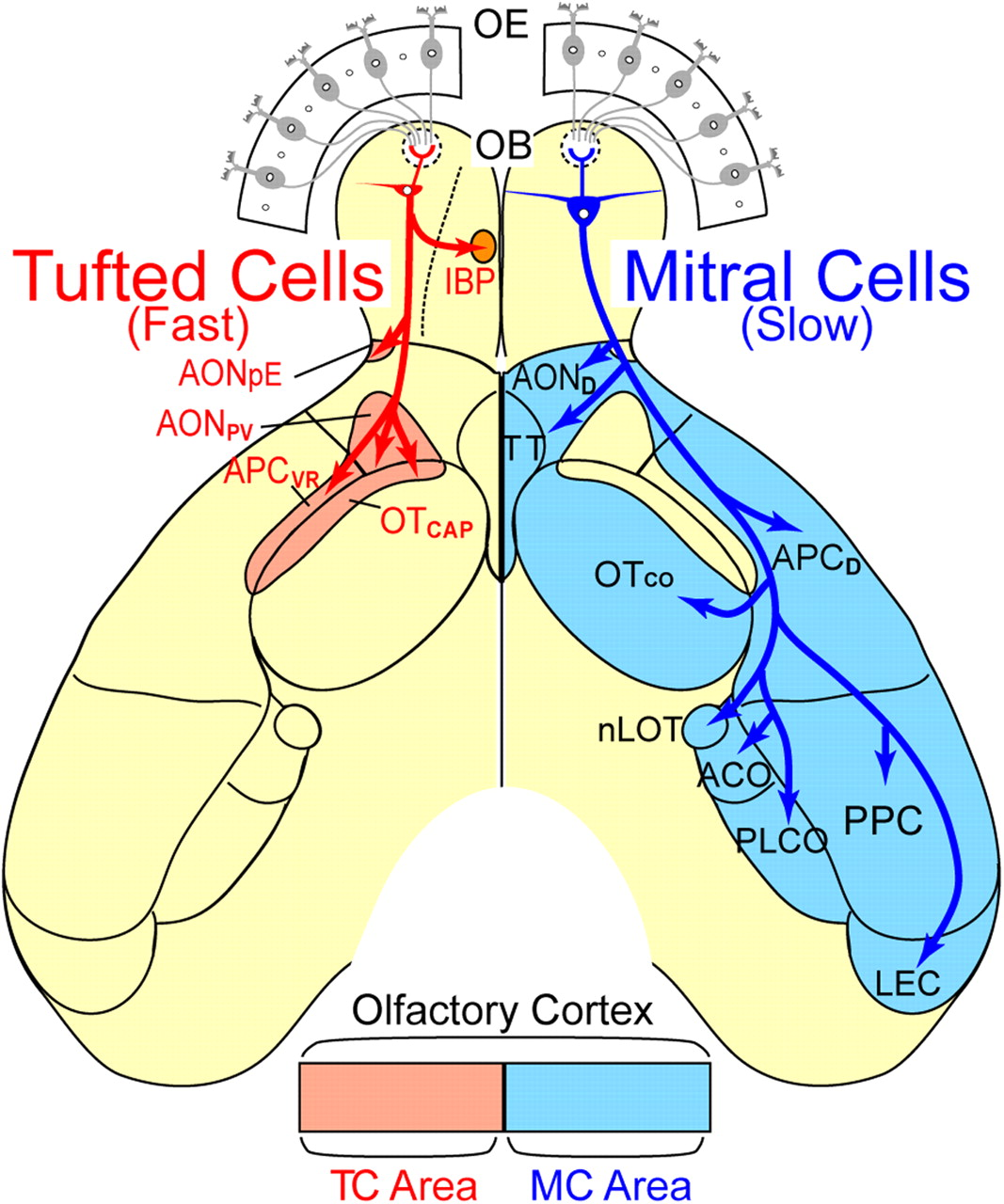 Parallel Mitral And Tufted Cell Pathways Route Distinct Odor