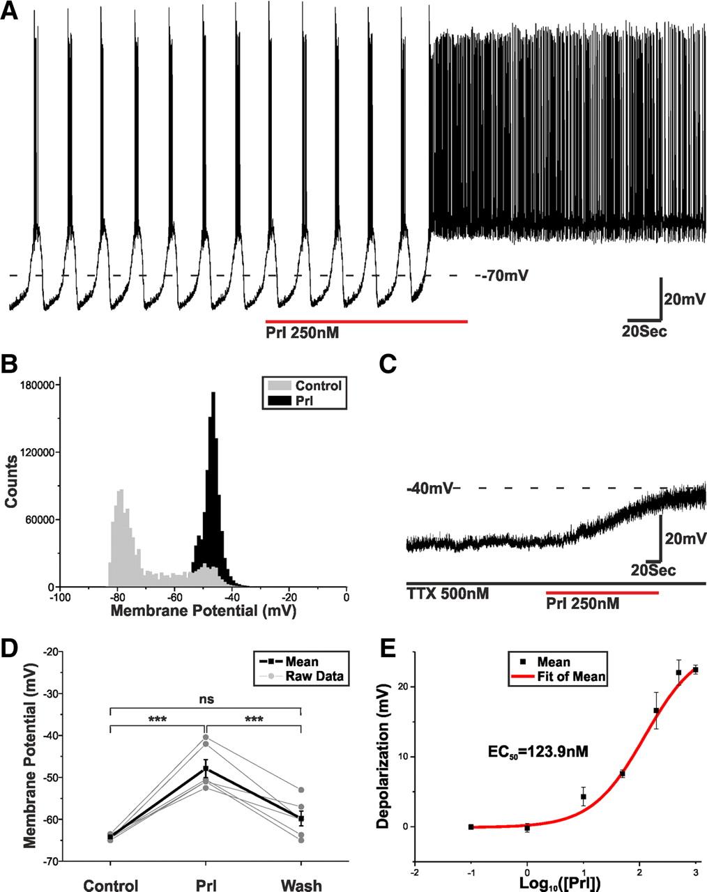 prolactin regulates tuberoinfundibular dopamine neuron