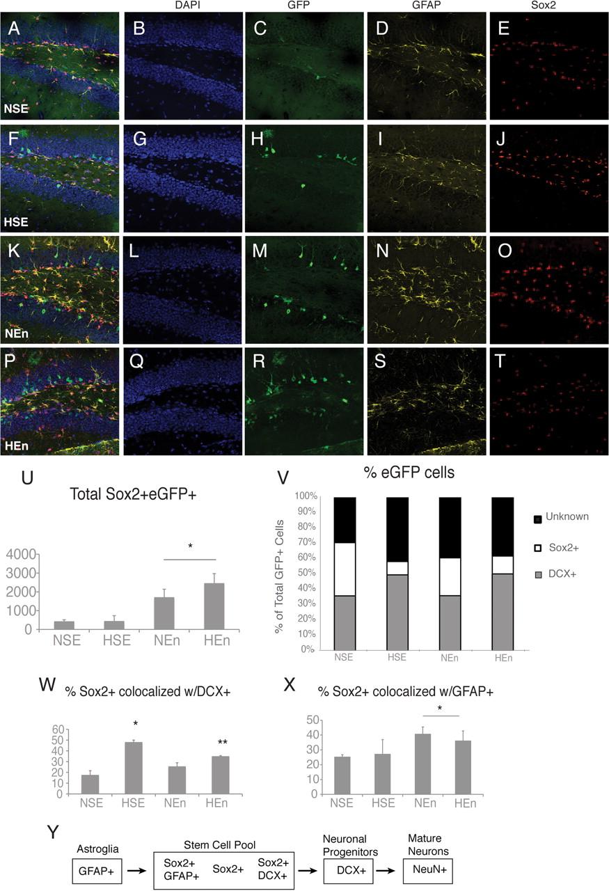Environmental Enrichment Increases the GFAP+ Stem Cell Pool