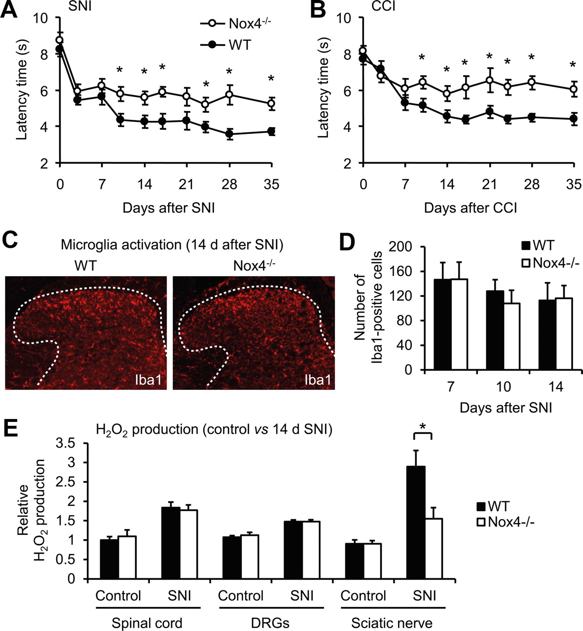NADPH Oxidase-4 Maintains Neuropathic Pain after Peripheral