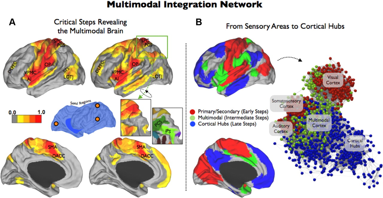 Stepwise Connectivity of the Modal Cortex Reveals the Multimodal