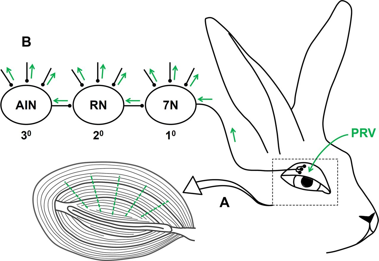 Anatomical Characterization Of A Rabbit Cerebellar Eyeblink Premotor Figure 1 Laser Diode Driver Within The Dashed Lines Download Open In New Tab
