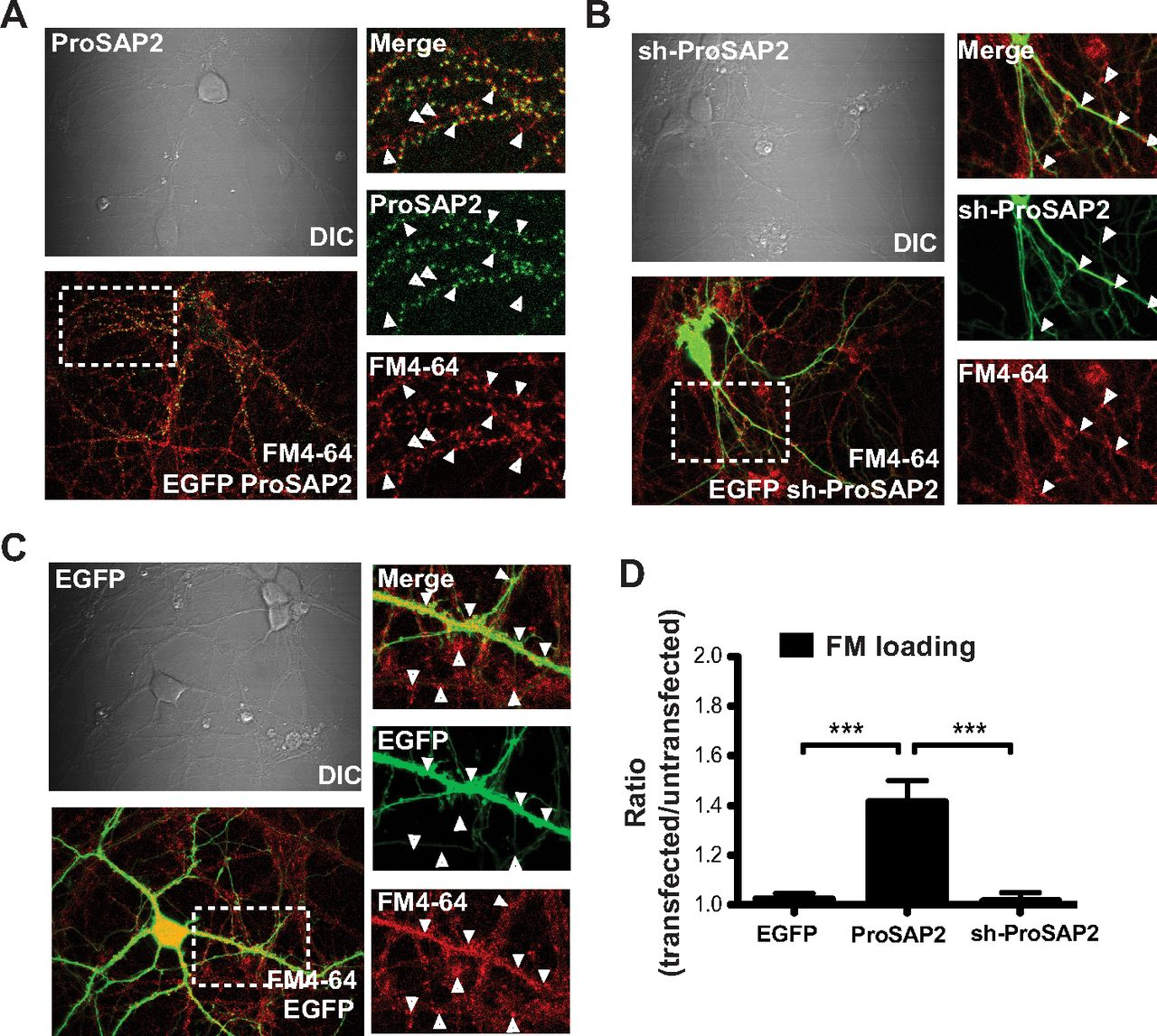 Autism Associated Mutations In Prosap2shank3 Impair Synaptic