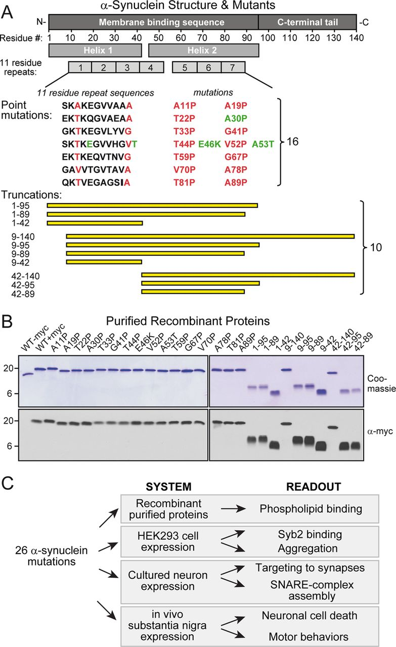 Systematic Mutagenesis of α-Synuclein Reveals Distinct