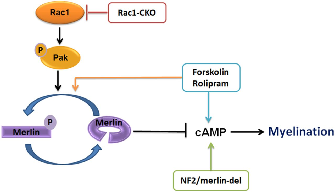 Rac1 Controls Schwann Cell Myelination through cAMP and NF2/merlin ...