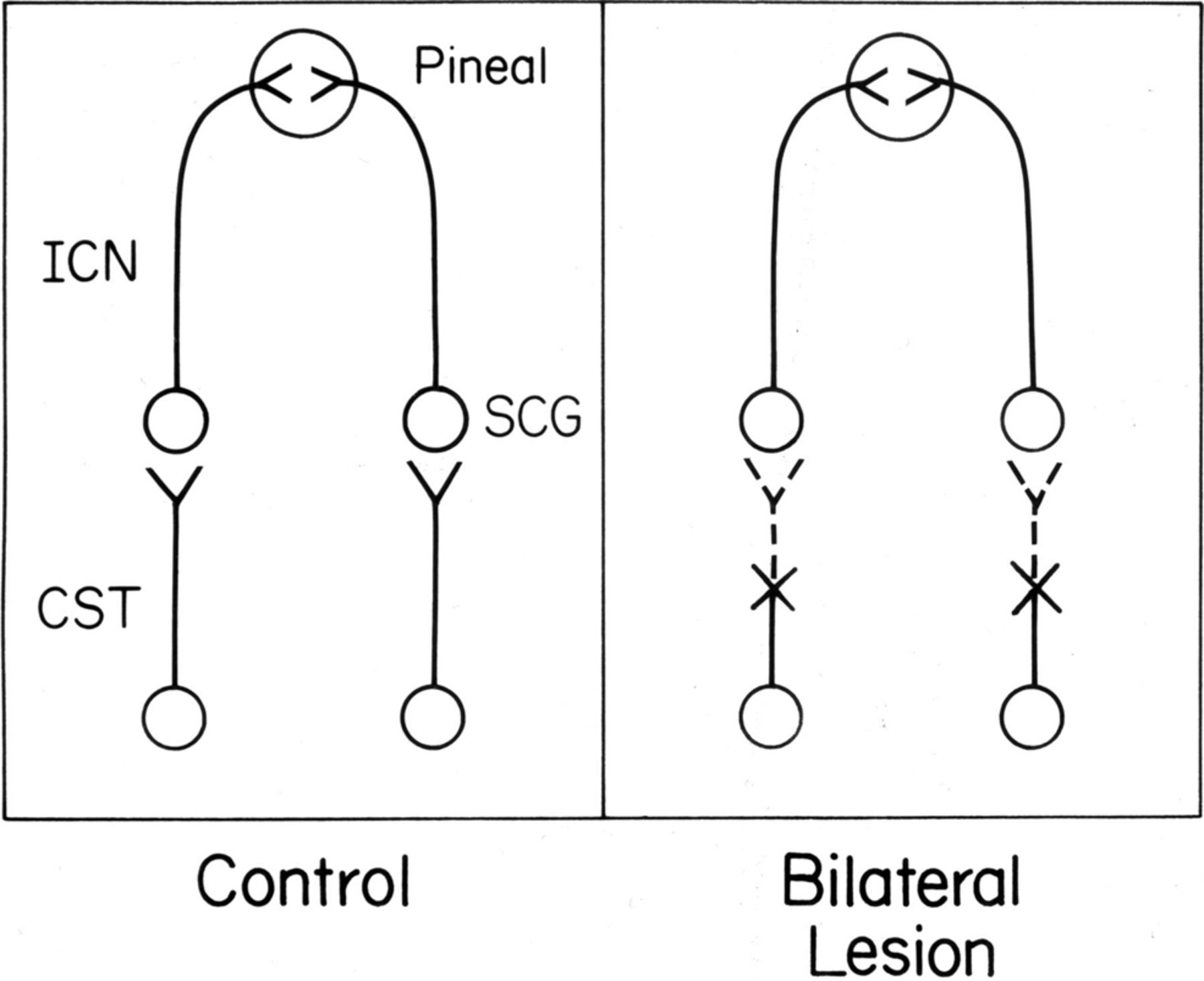Limited Recovery Of Pineal Function After Regeneration Of