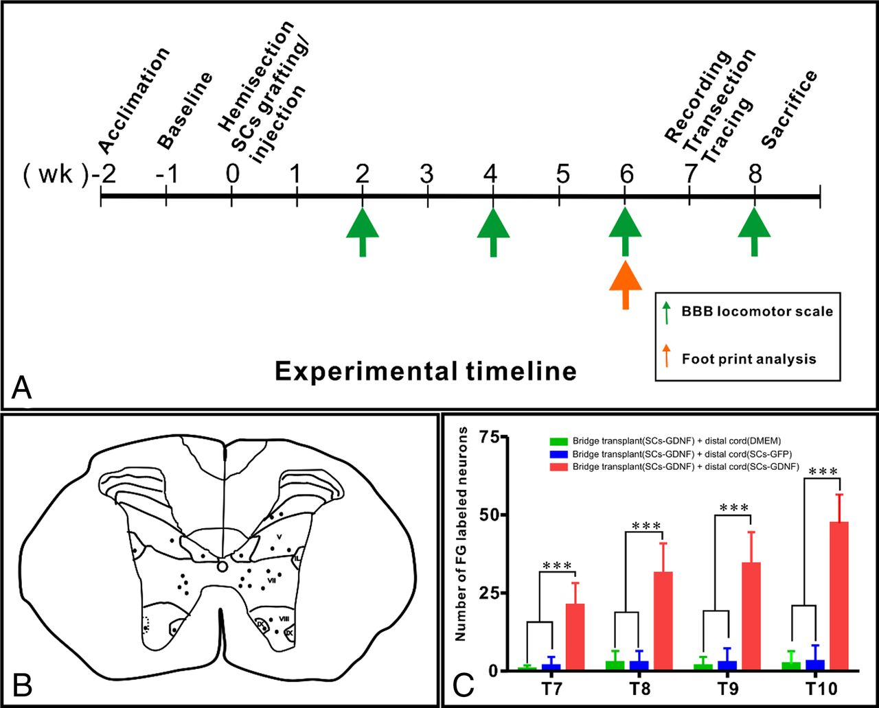 A Novel Growth Promoting Pathway Formed By Gdnf Overexpressing