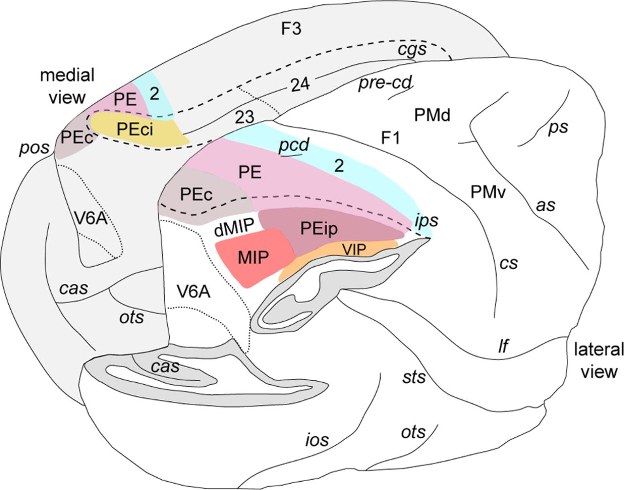 Cortical Connectivity Suggests A Role In Limb Coordination For
