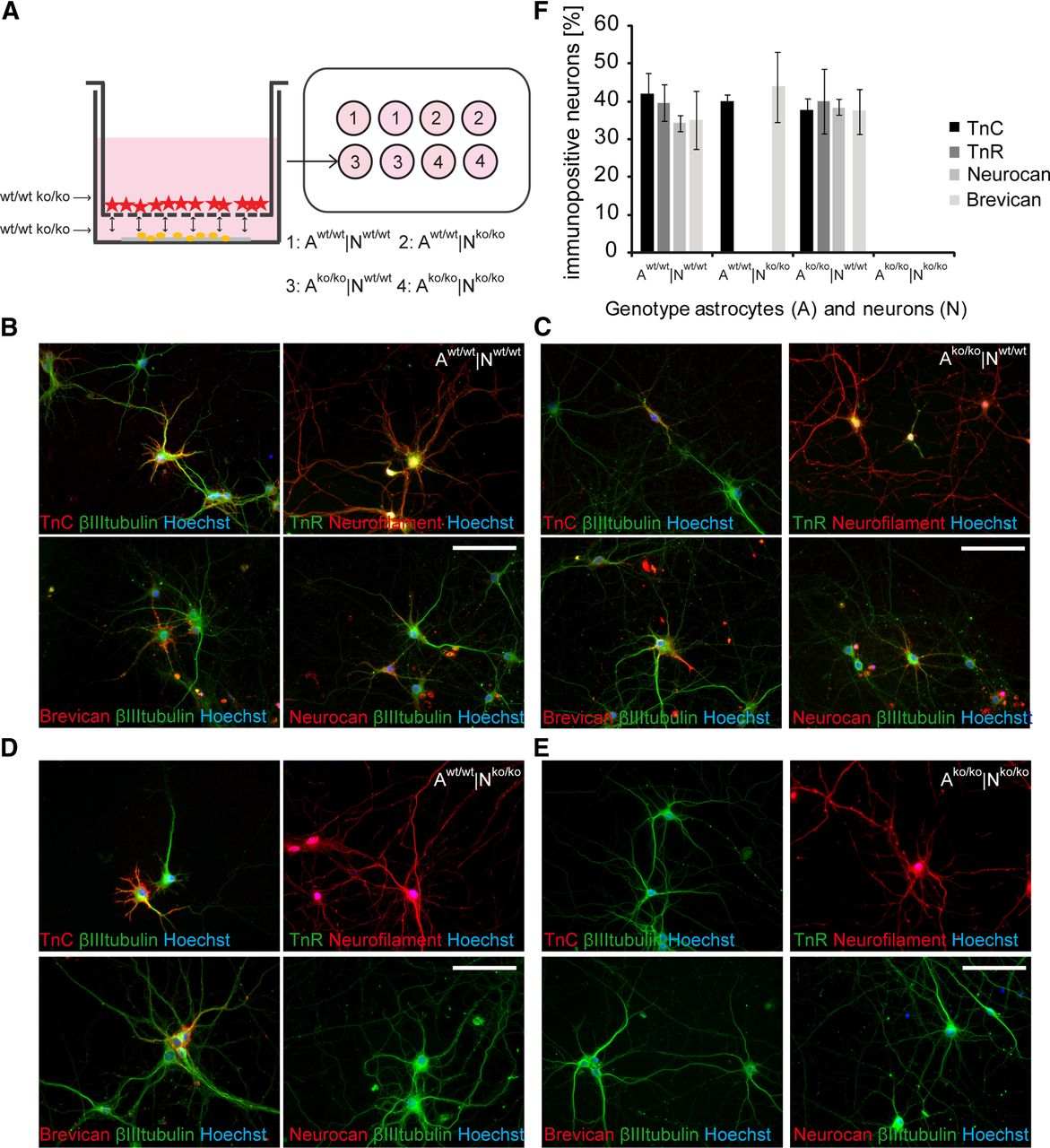 Primary Hippocampal Neurons, Which Lack Four Crucial Extracellular
