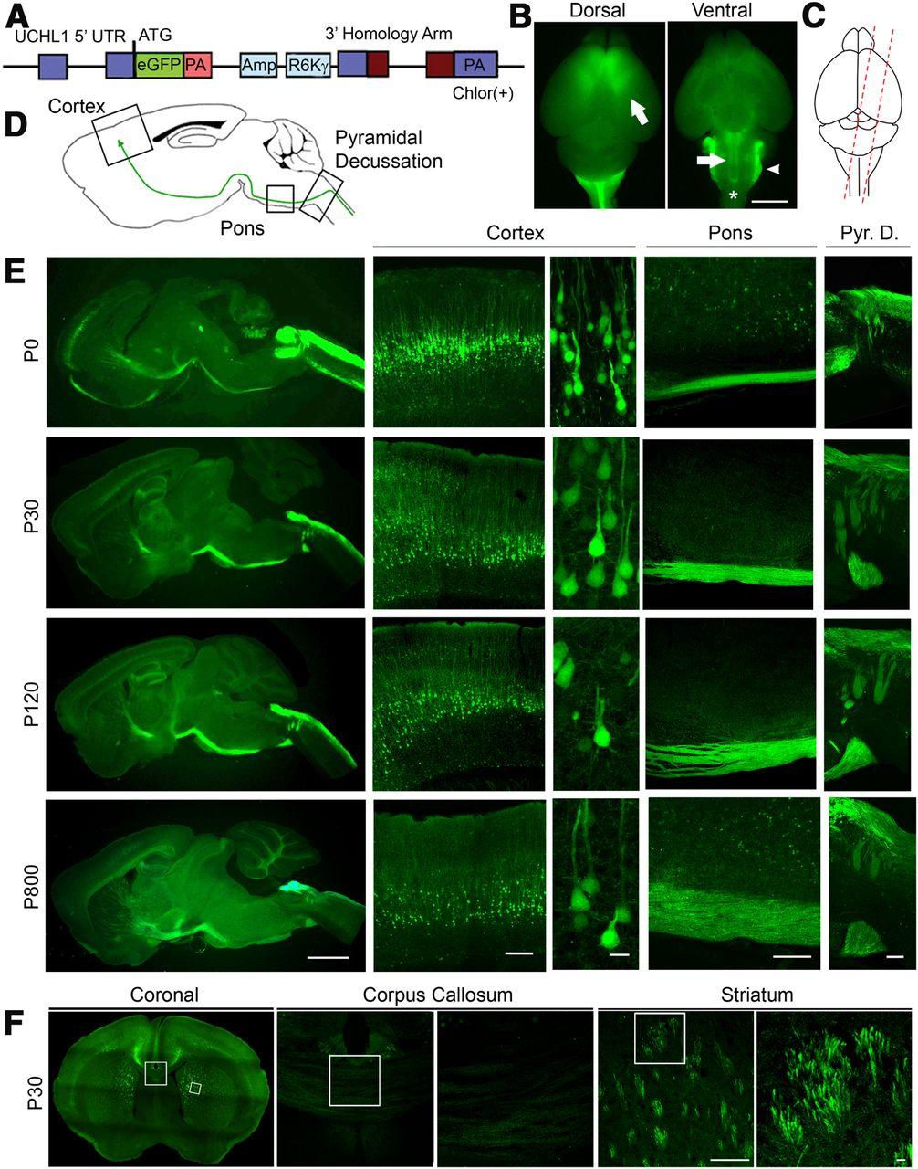 Egfp Expression Under Uchl1 Promoter Genetically Labels