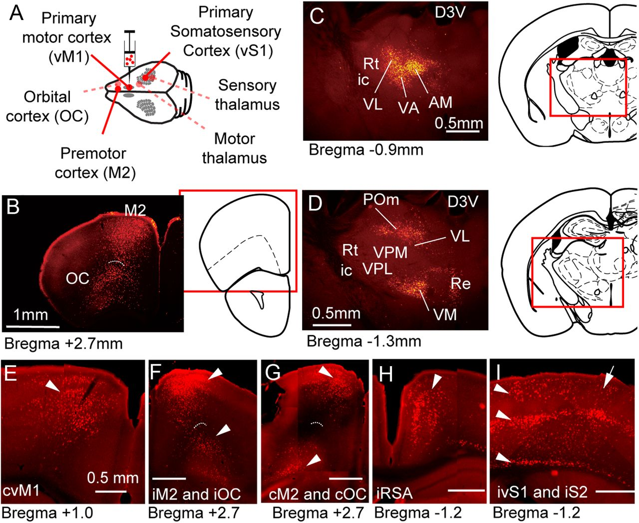 Organization Of Cortical And Thalamic Input To Pyramidal Neurons In Mouse Motor Cortex