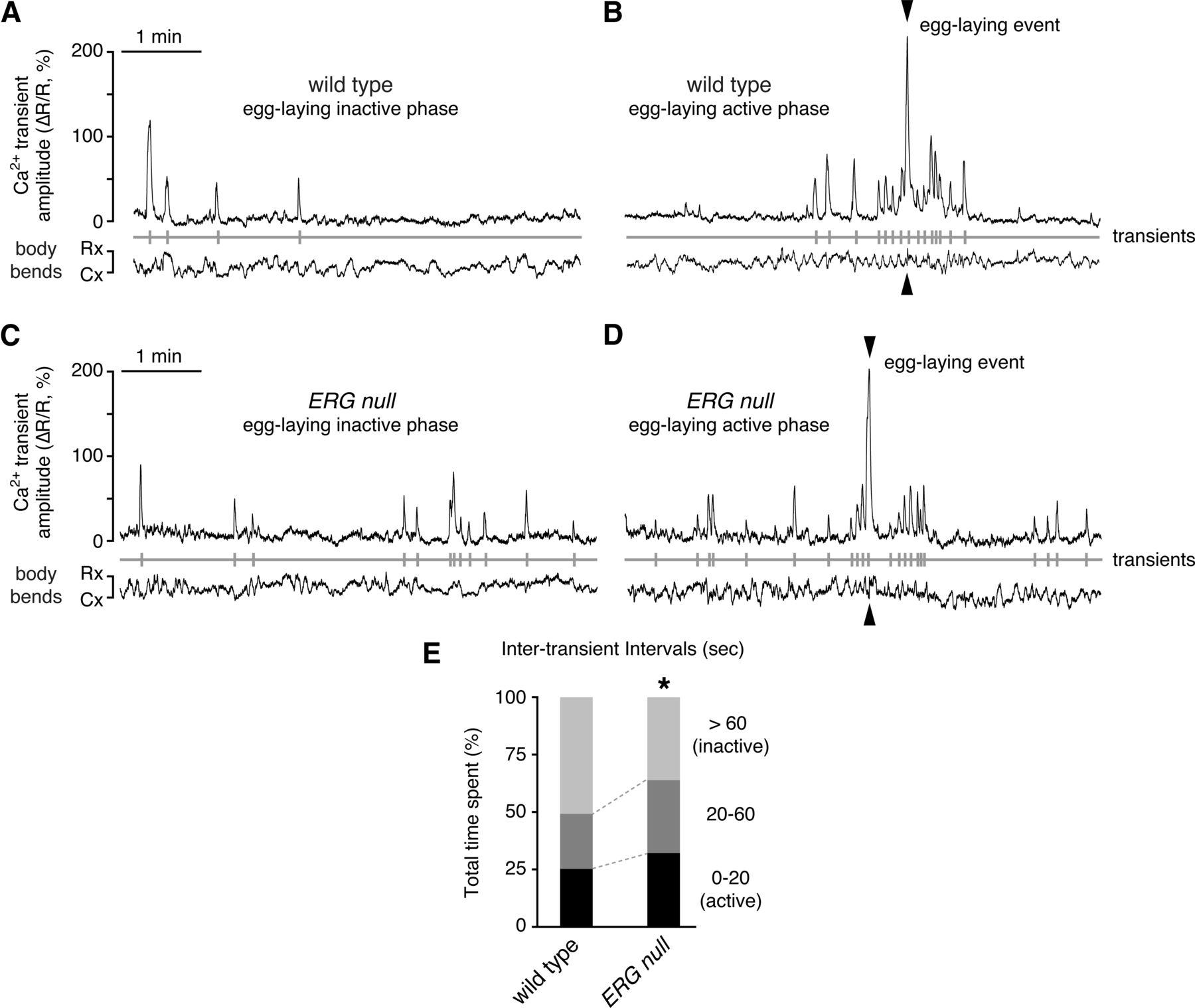Postsynaptic ERG Potassium Channels Limit Muscle Excitability to ...