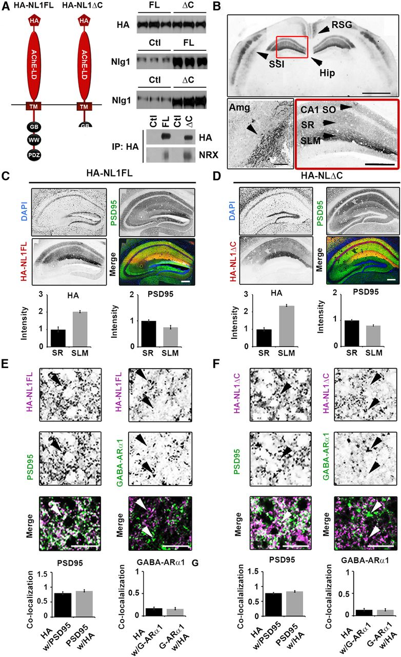 Neuroligin1 Drives Synaptic and Behavioral Maturation through ...
