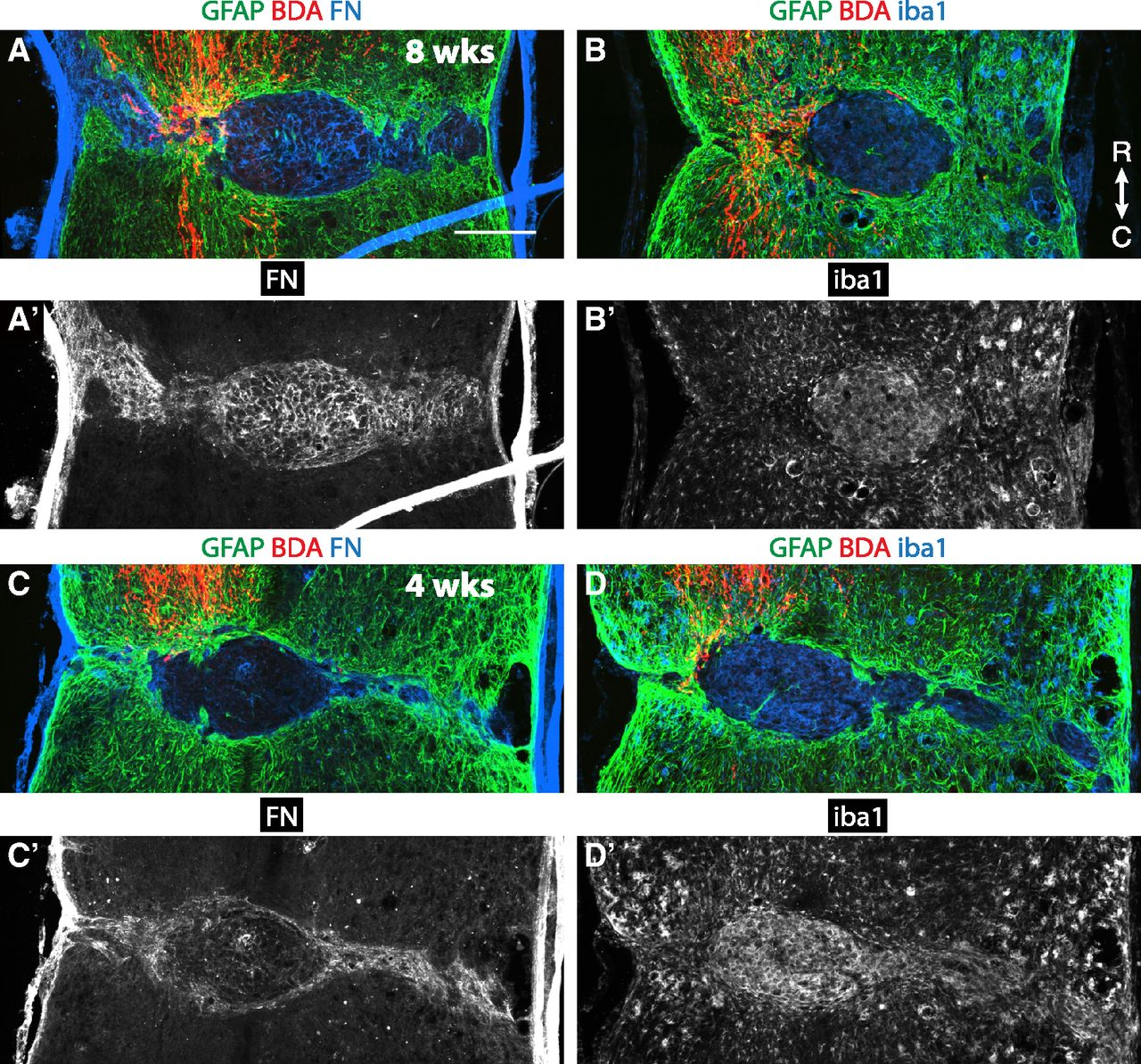 Short Hairpin RNA against PTEN Enhances Regenerative Growth