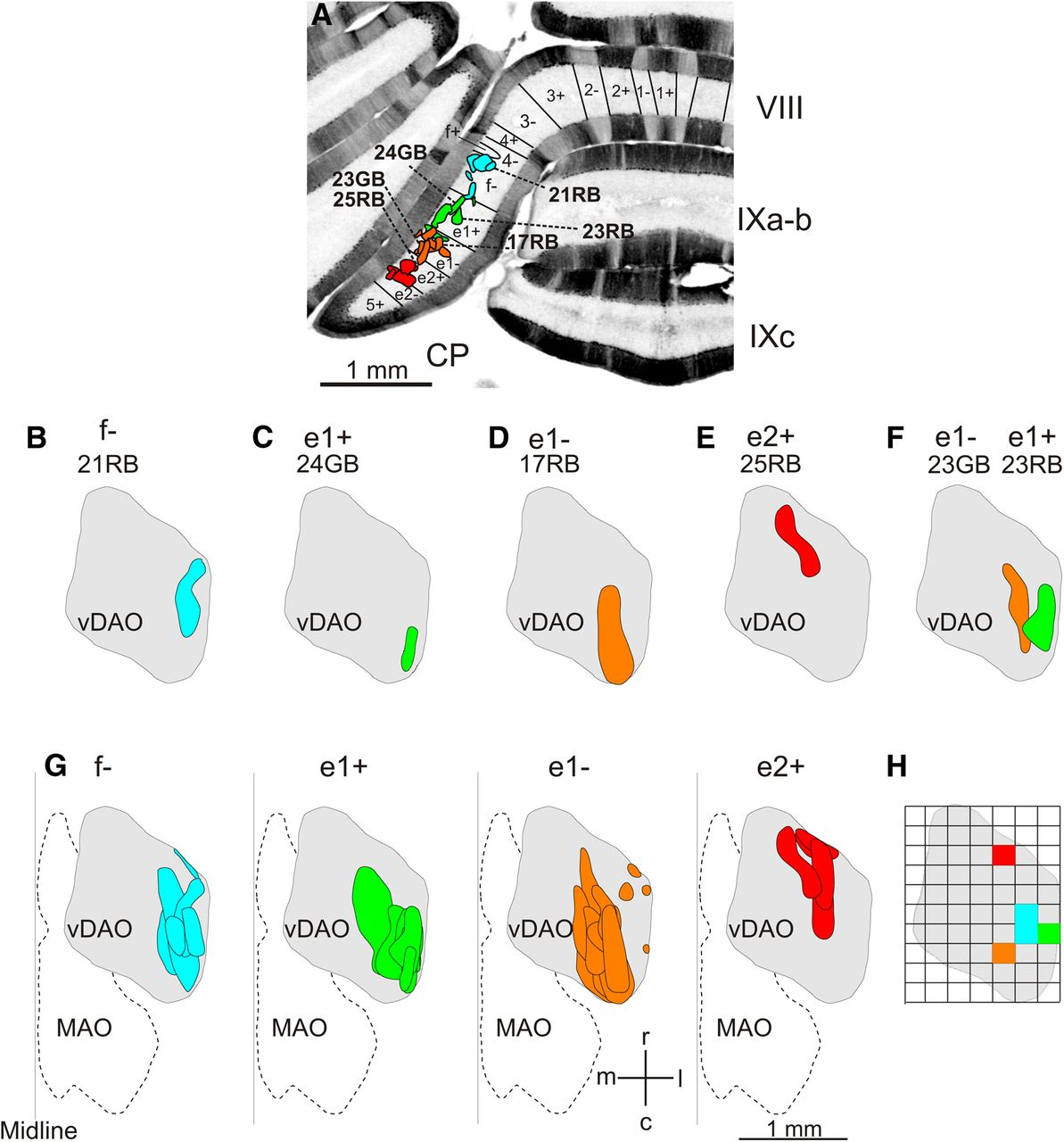 Structural basis of cerebellar microcircuits in the rat journal download figure pooptronica Choice Image