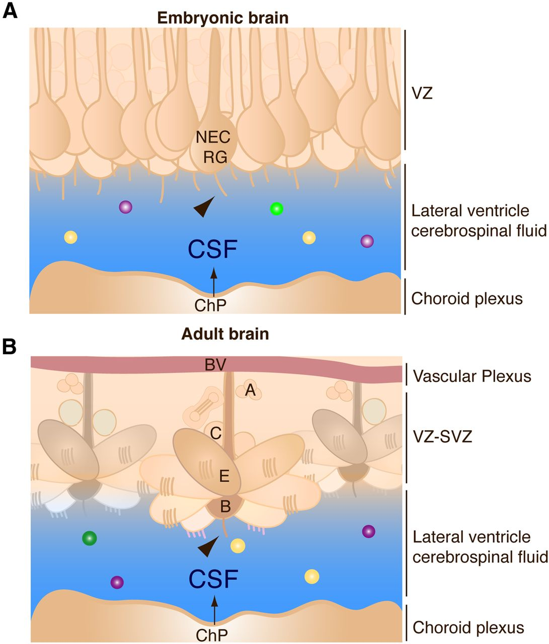 The Choroid Plexus And Cerebrospinal Fluid Emerging Roles In