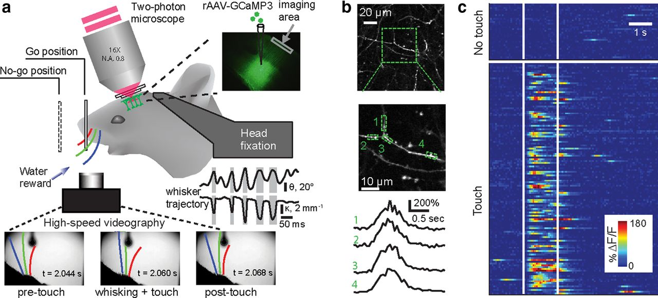 Imaging Neuronal Populations In Behaving Rodents
