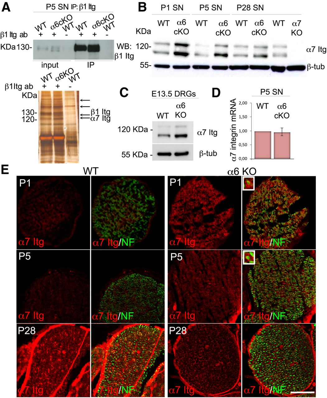 α6β1 and α7β1 Integrins Are Required in Schwann Cells to
