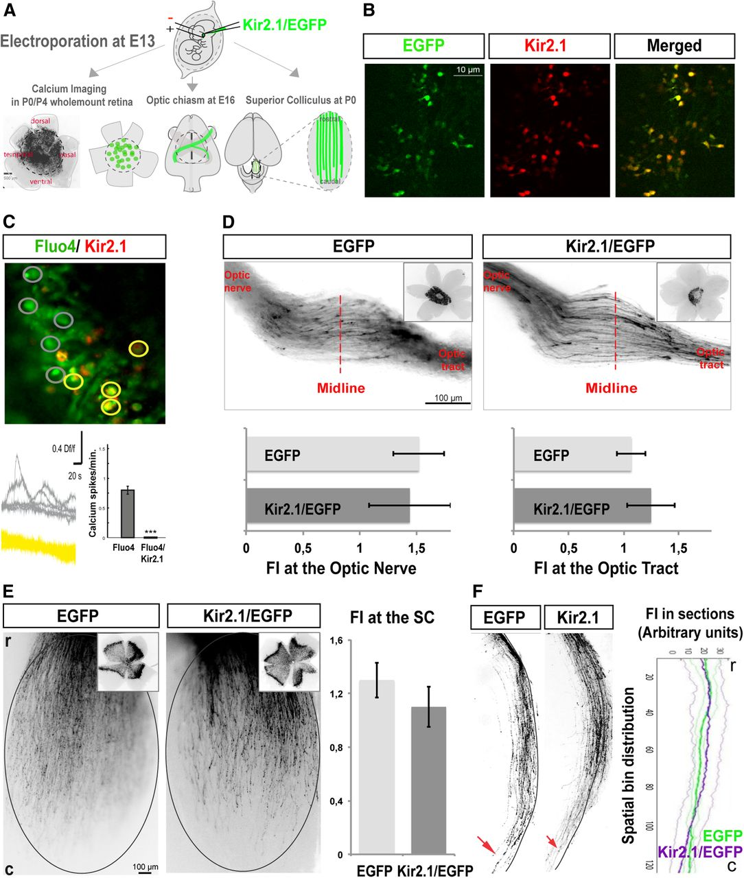 uncoupling of epha ephrina signaling and spontaneous activity in