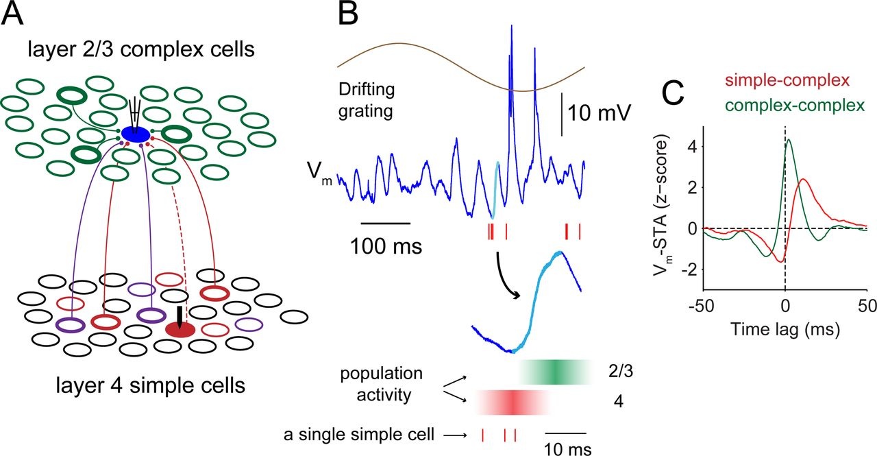 Functional Coupling from Simple to Complex Cells in the Visually ...