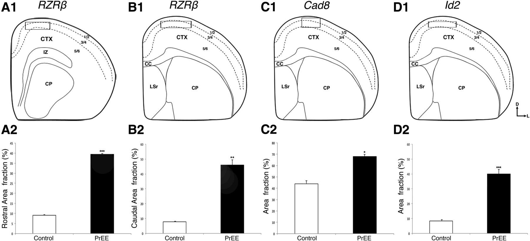 Prenatal Ethanol Exposure Disrupts Intraneocortical