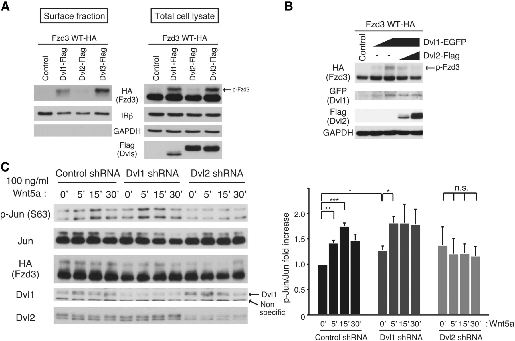 antagonistic functions of dishevelleds regulate frizzled3