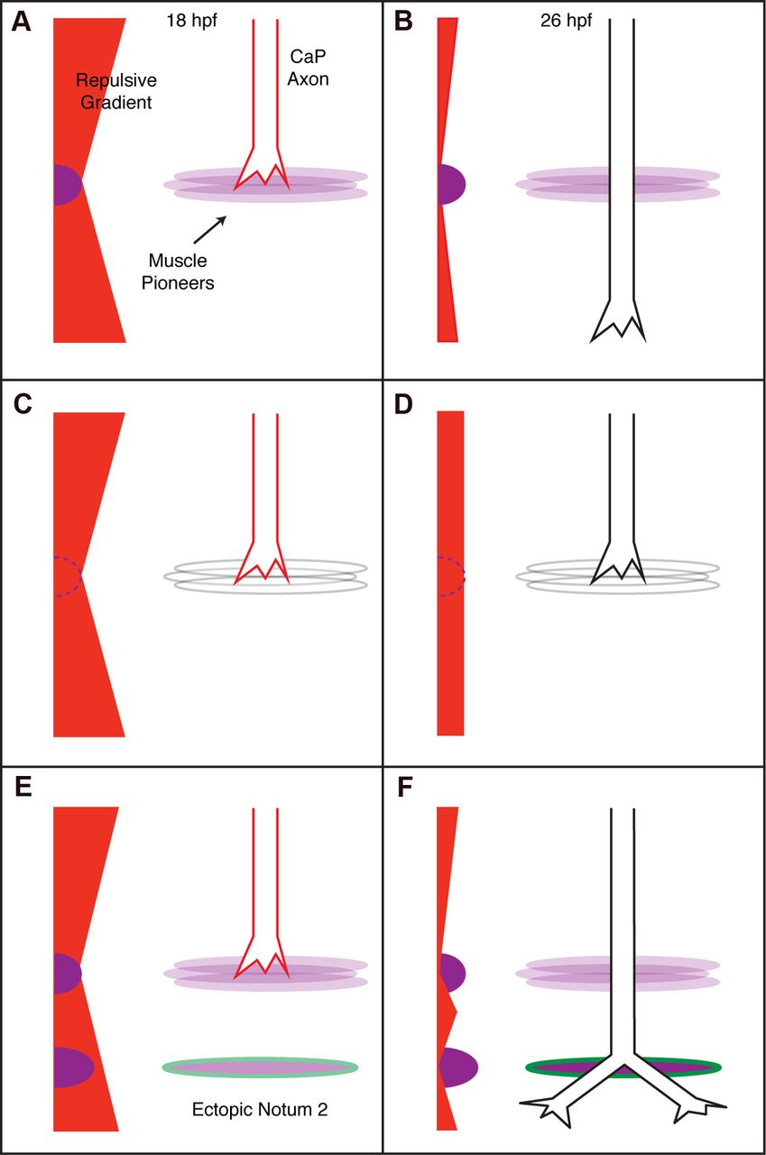 Notum Homolog Plays A Novel Role In Primary Motor Innervation Wiring Diagram For Ih 234 Download Figure