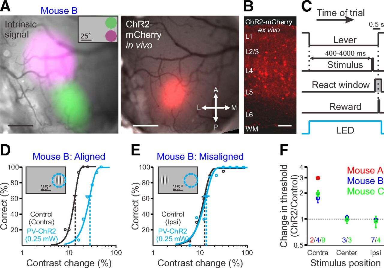 Mouse Primary Visual Cortex Is Used to Detect Both