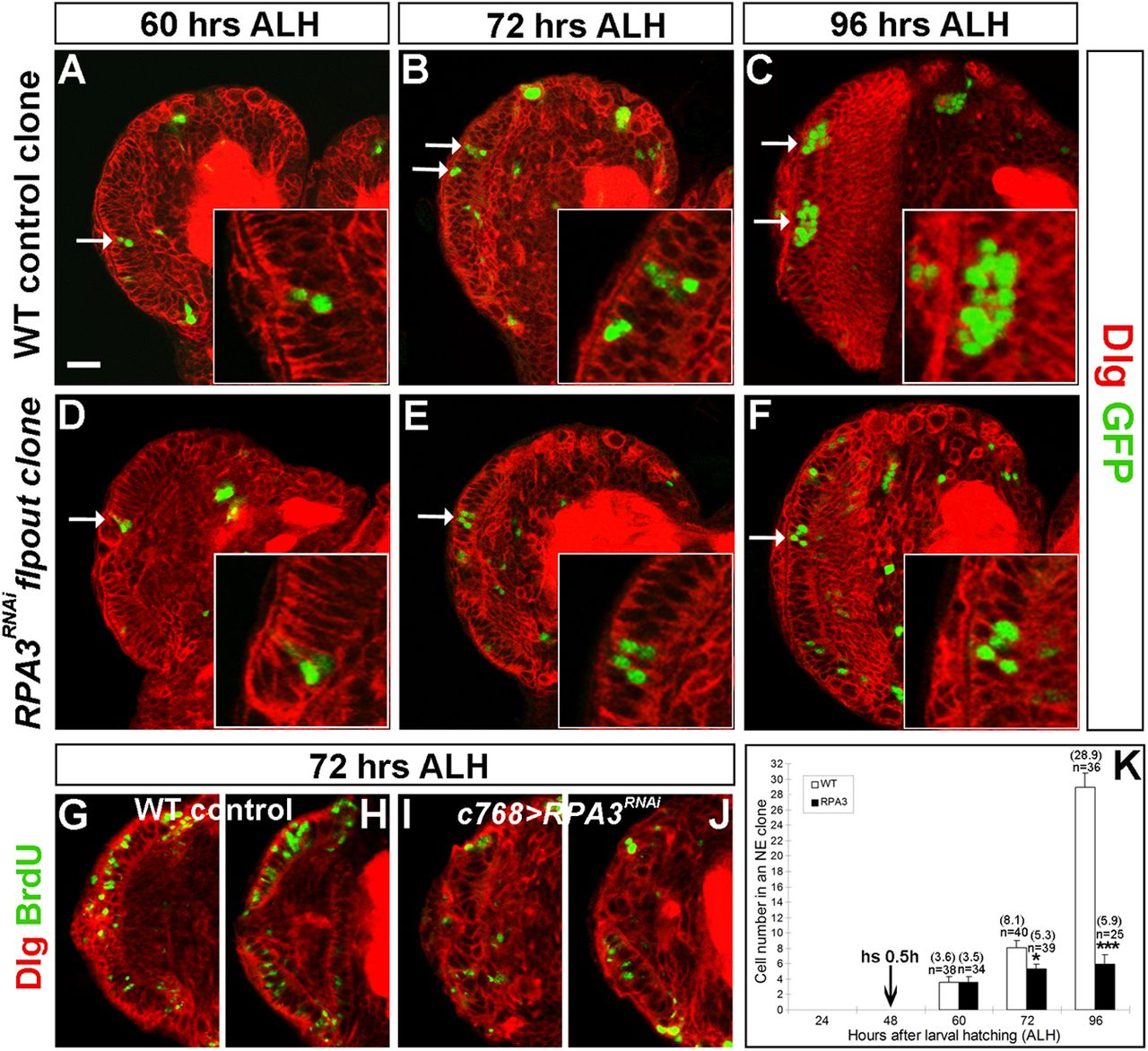 Replication Protein A Links Cell Cycle Progression and the