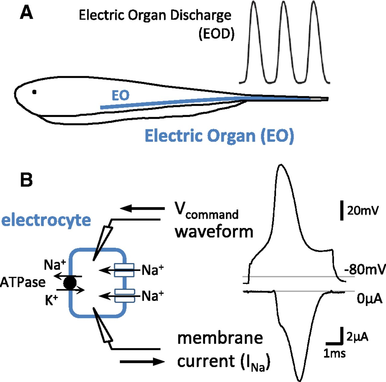 Action potential energetics at the organismal level reveal a trade download figure biocorpaavc Gallery