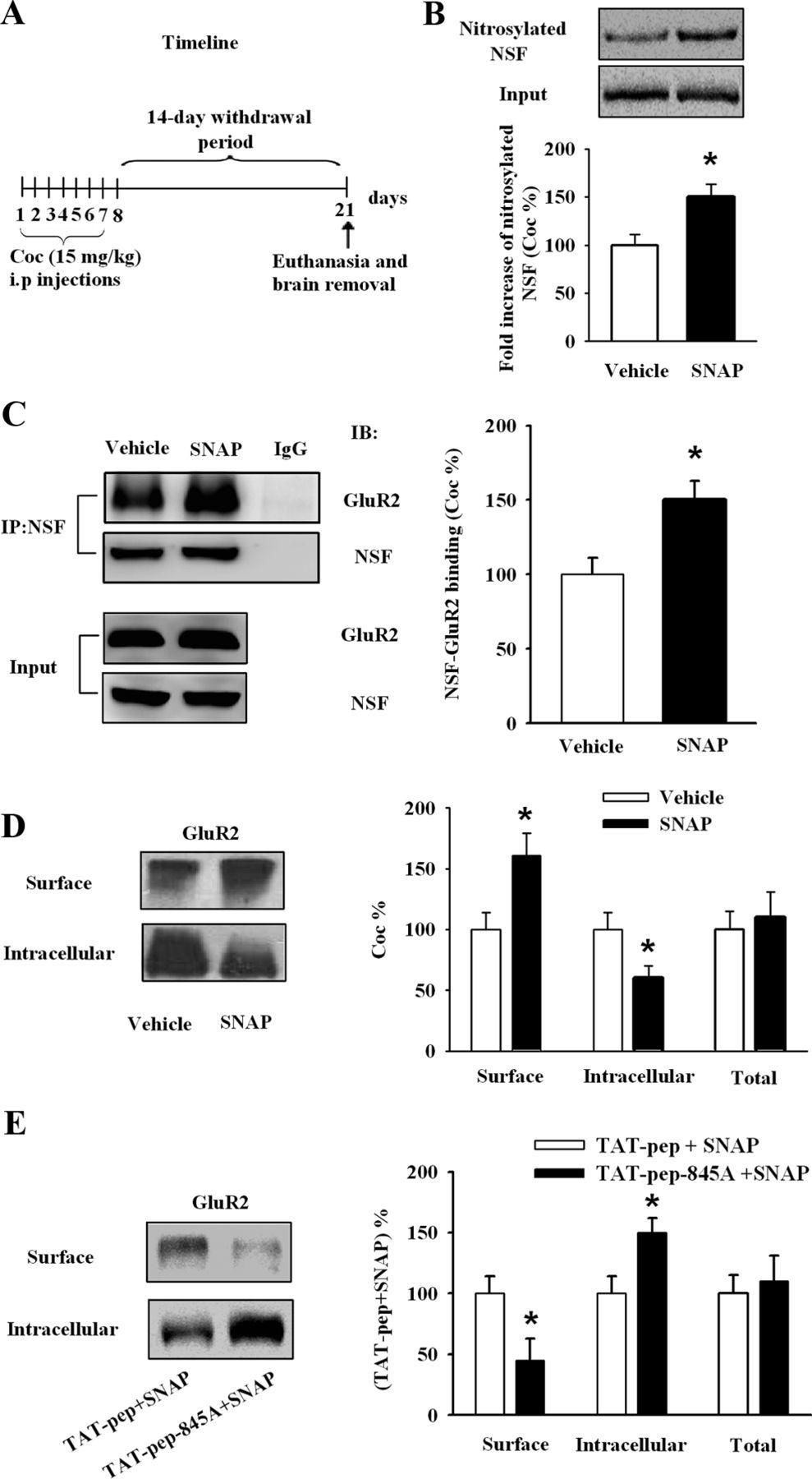 Interactions between N-Ethylmaleimide-Sensitive Factor and GluR2 in