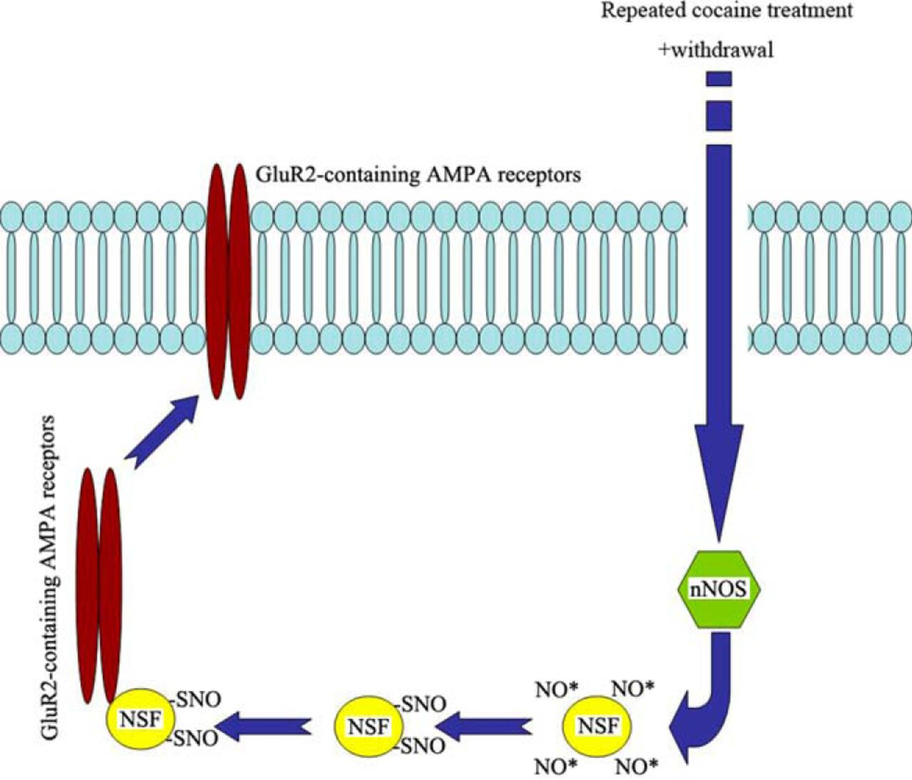 Interactions between N-Ethylmaleimide-Sensitive Factor and