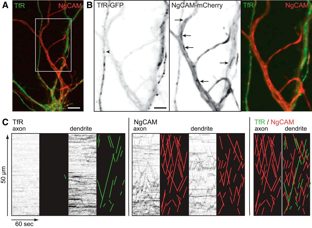 Selective Microtubule-Based Transport of Dendritic Membrane
