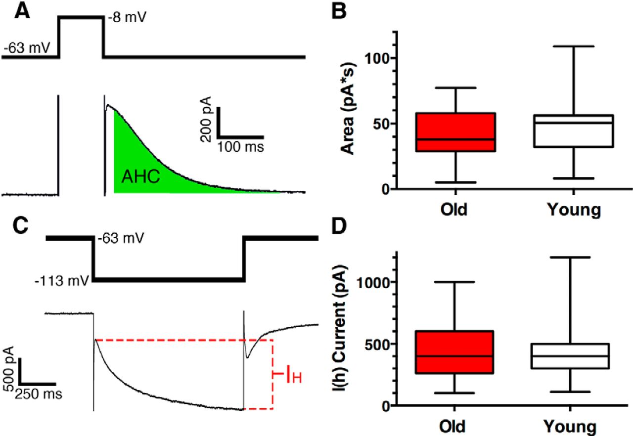 Aging Decreases L-Type Calcium Channel Currents and Pacemaker Firing