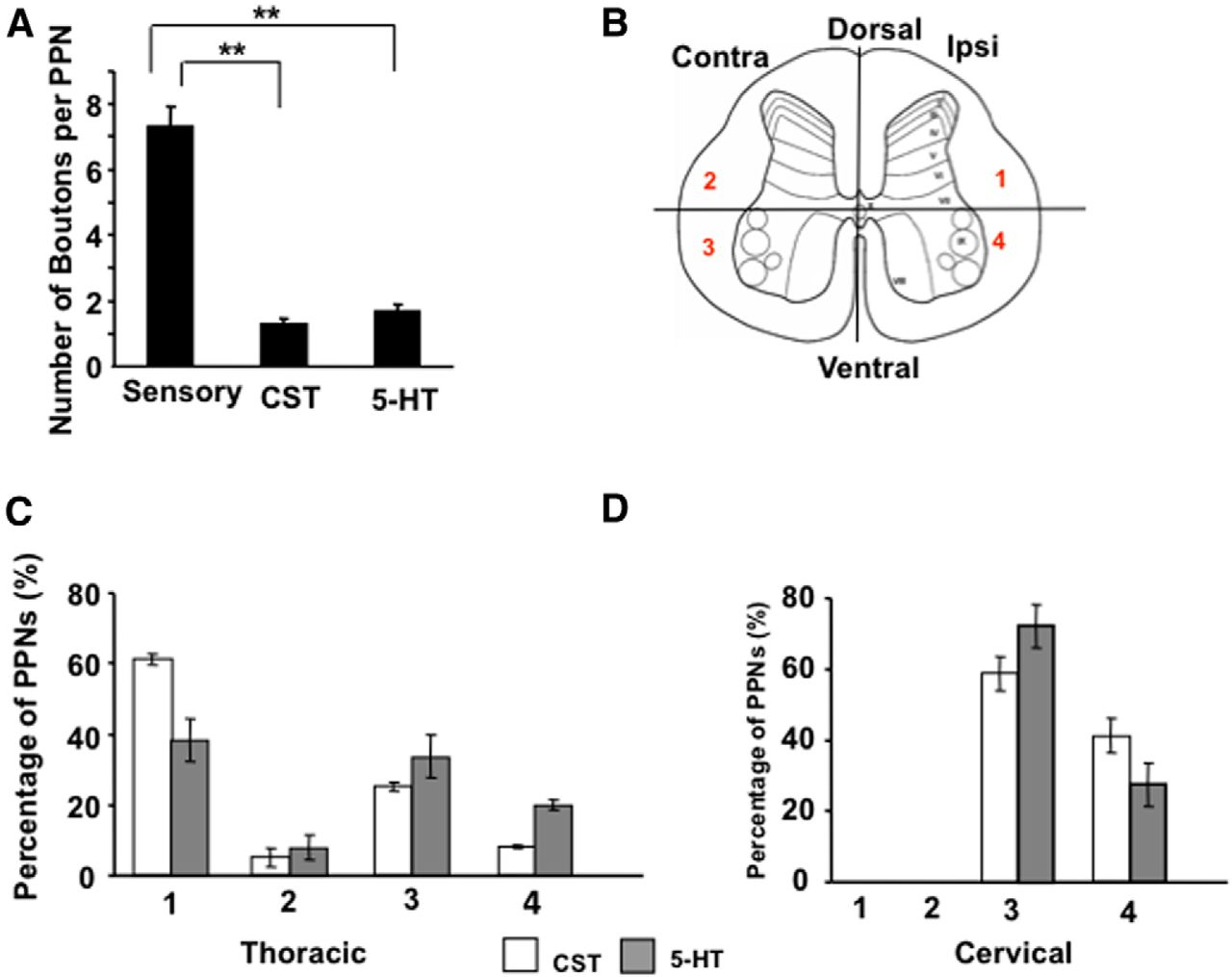 Characterization of Long Descending Premotor Propriospinal Neurons ...