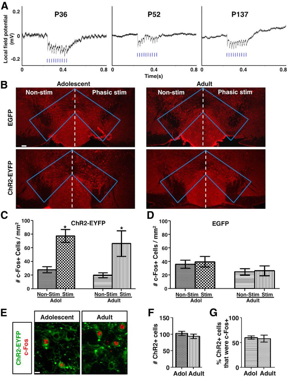 Phasic Dopamine Neuron Activity Elicits Unique Mesofrontal