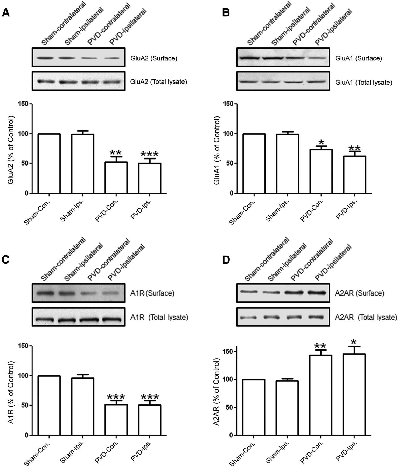 Prolonged Adenosine A1 Receptor Activation in Hypoxia and