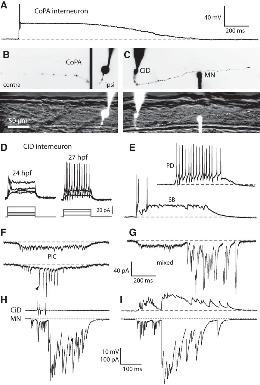 A Hybrid Electrical/Chemical Circuit in the Spinal Cord