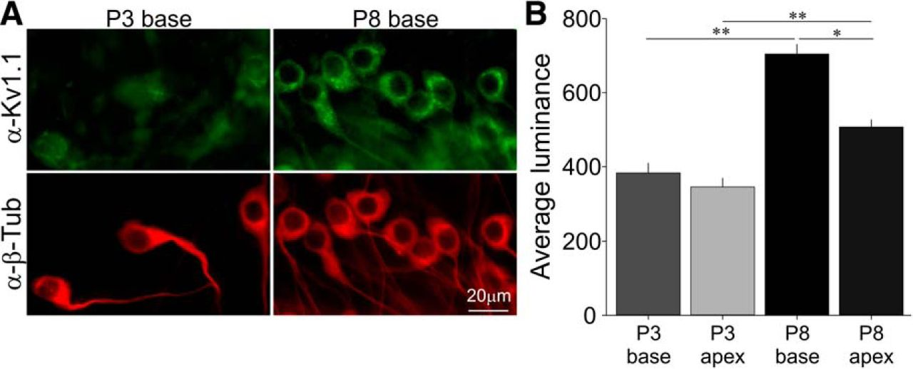 apex home health adds unmasking of spiral ganglion neuron firing dynamics by membrane
