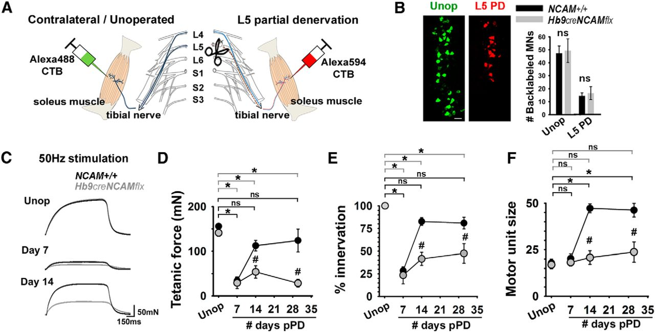 Presynaptic Ncam Is Required For Motor Neurons To Functionally Cat Skeleton Moreover Knee Muscles And Tendons Diagram In Addition Download Figure