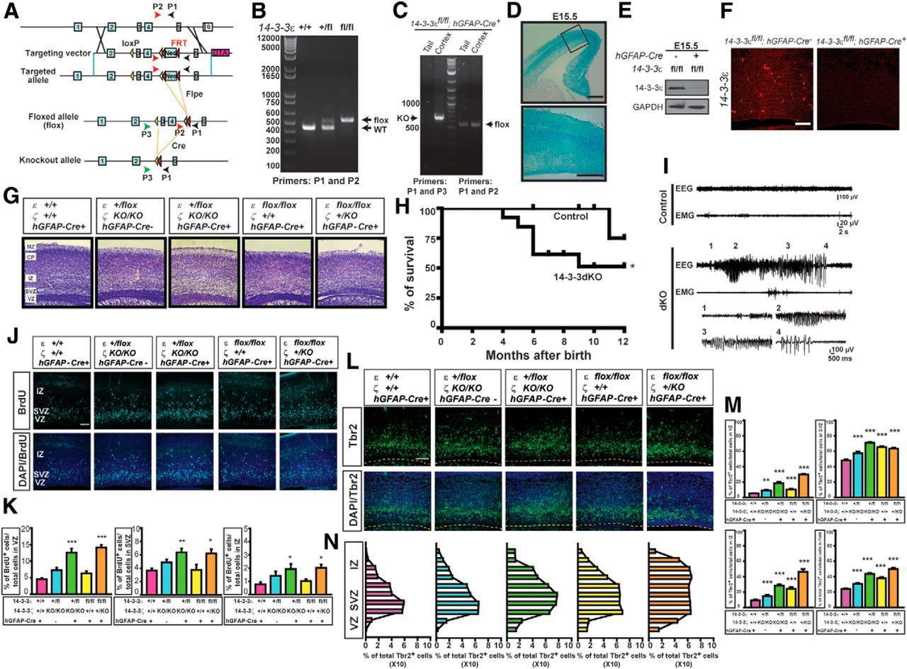 14-3-3ε and ζ Regulate Neurogenesis and Differentiation of Neuronal