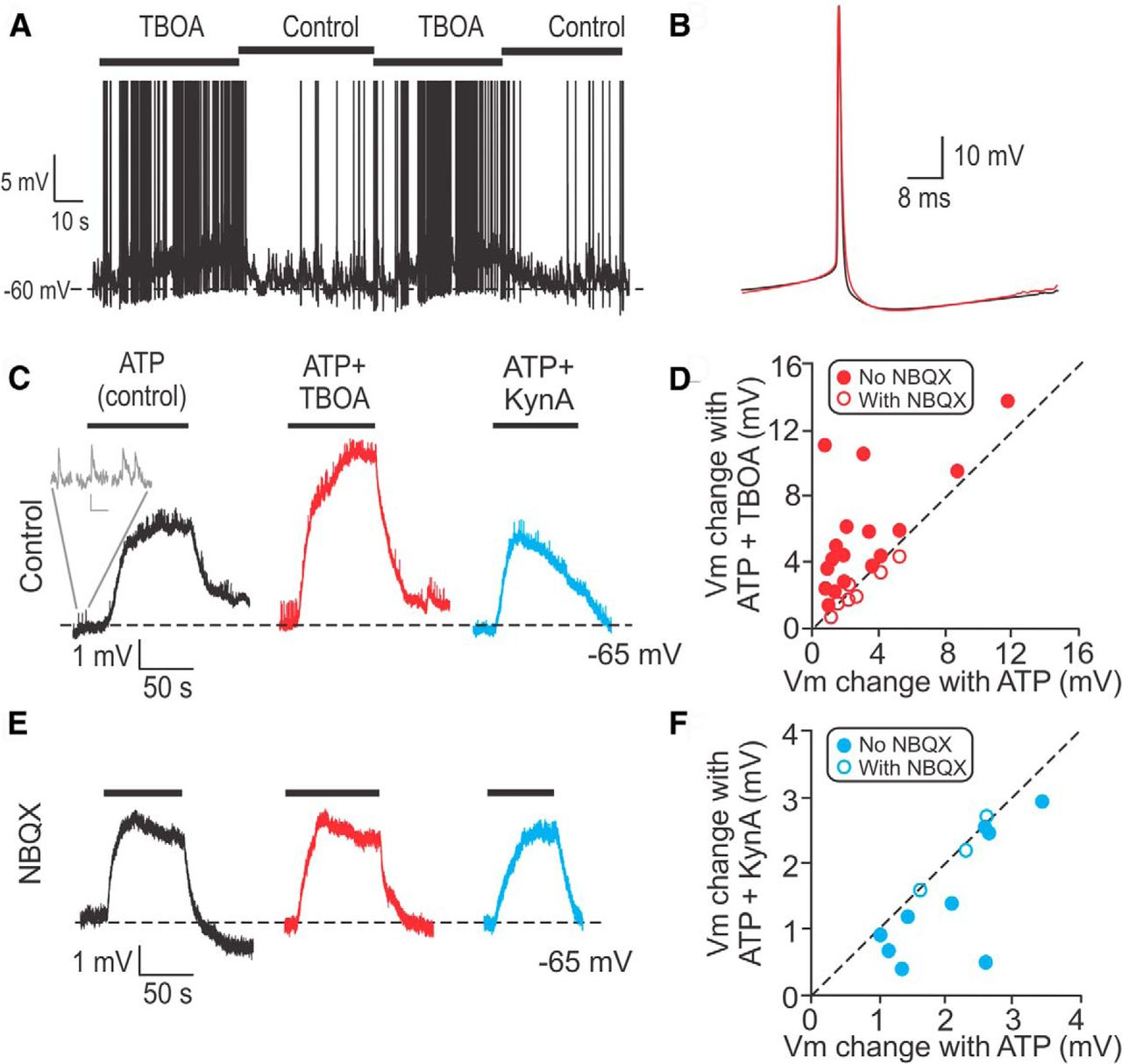 Tissue-specific dynamin-1 deletion at the calyx of held decreases.