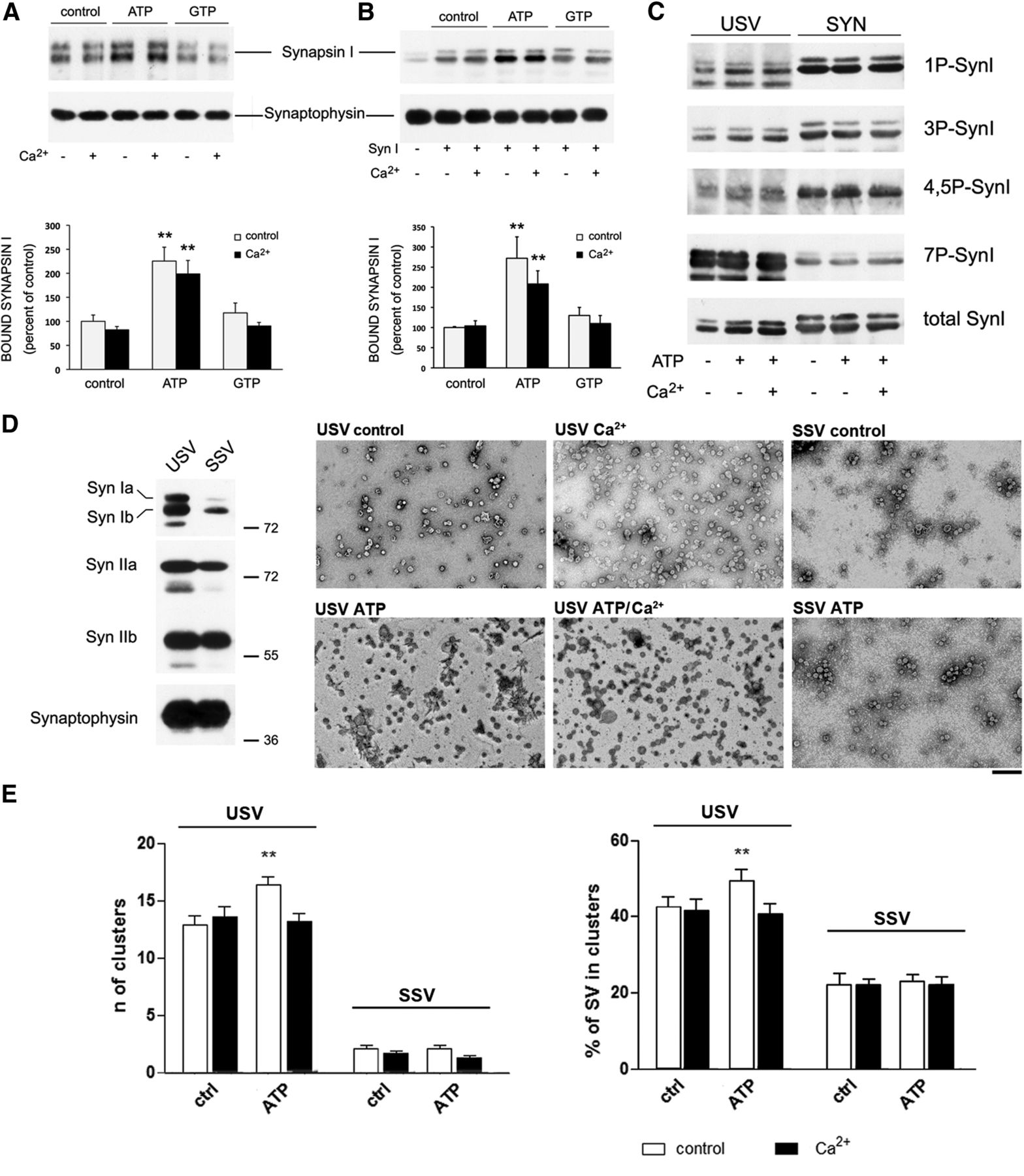 Functional Role of ATP Binding to Synapsin I In Synaptic Vesicle ...