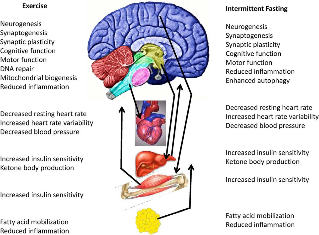 Exercise, Energy Intake, Glucose Homeostasis, and the Brain