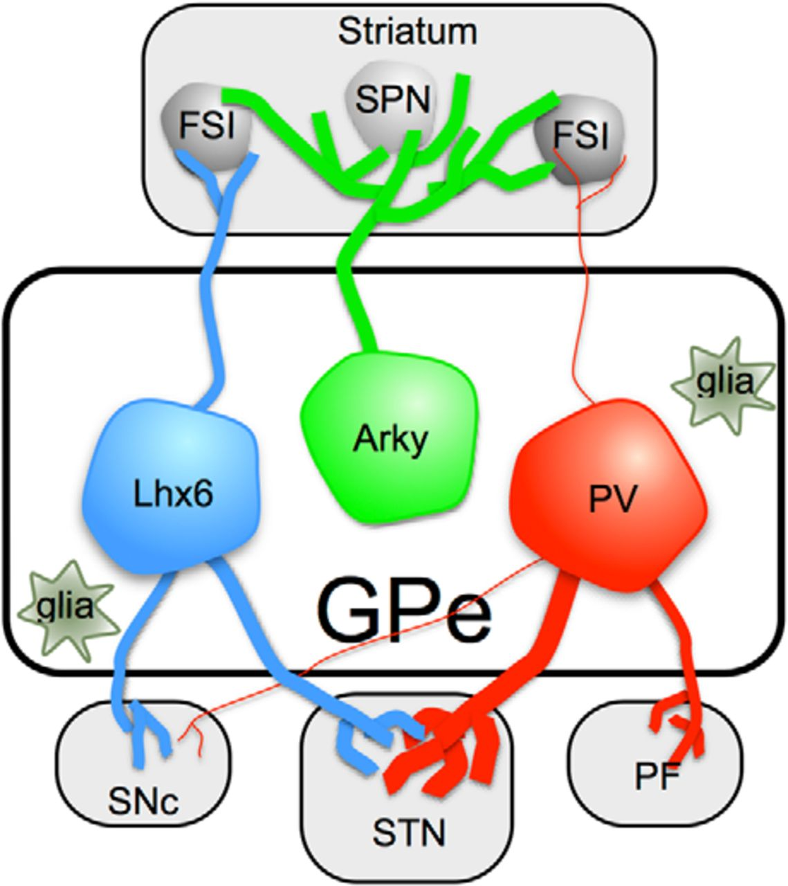 New Roles for the External Globus Pallidus in Basal Ganglia Circuits ...