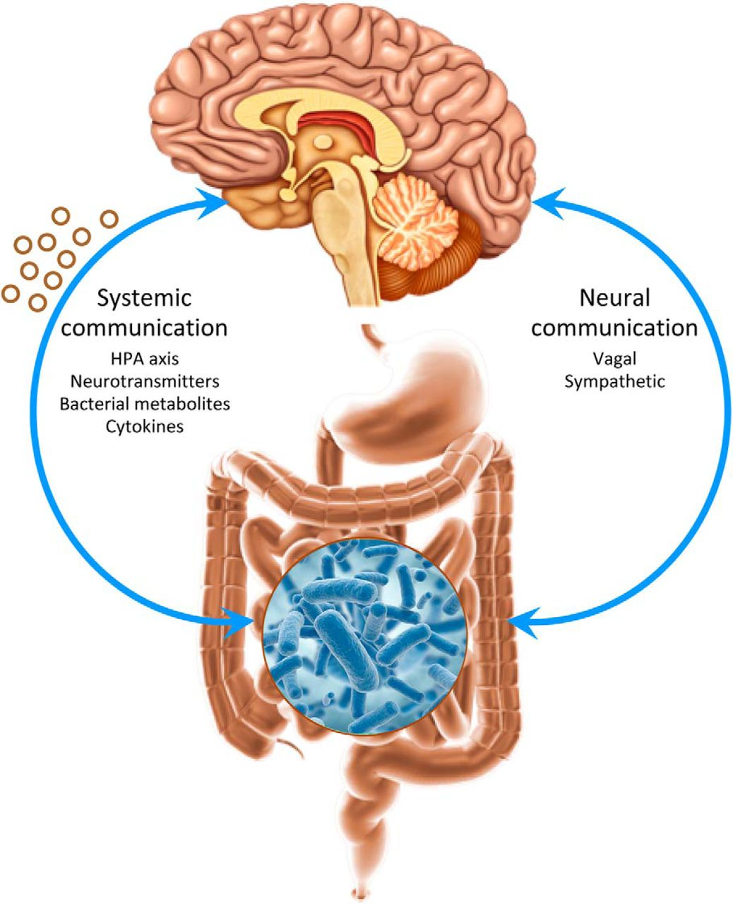 When Gut Bacteria Change Brain Function >> Gut Microbes And The Brain Paradigm Shift In Neuroscience
